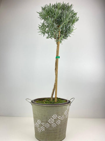 Lavender Tree 1/4 Standard 3 Litre in Daisy Metal Planter