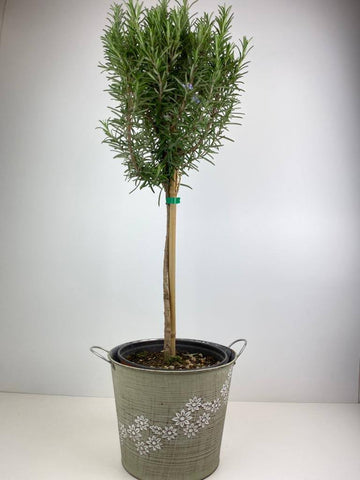 Rosemary Tree 1/4 Standard 3 Litre Daisy Metal Planter