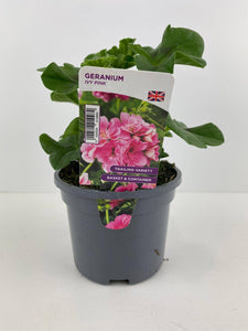Geranium Ivy Pink 10.5cm Pots British Grown In Recyclable Pots x 3