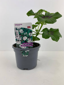 Geranium Ivy White 10.5cm Pots British Grown In Recyclable Pots x 3