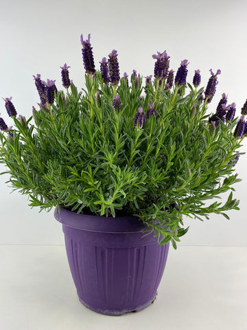 Lavender Stoechas 5L Patio Ready Pot