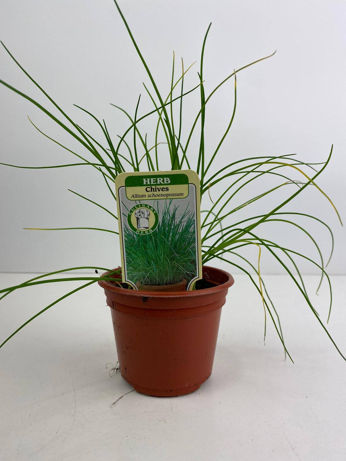 Herb Chives 9cm Pot