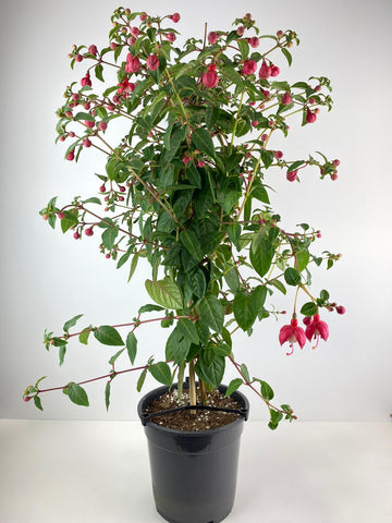 Fuchsia Bella Standard Red & White 19cm Pot