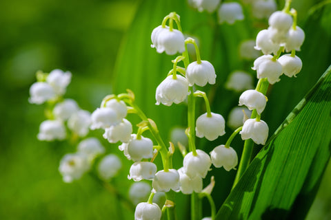Convallaria Majalis Lily-Of-The-Valley