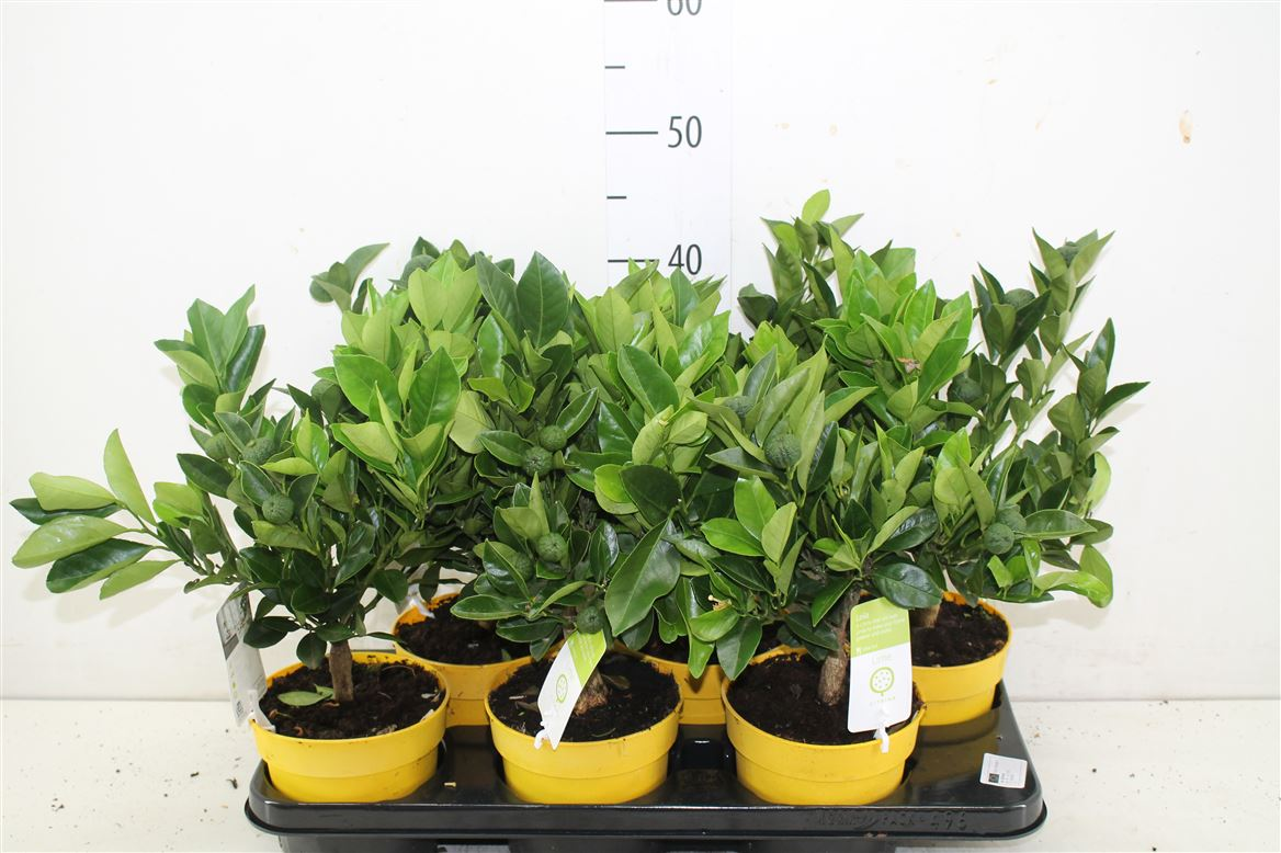 Citrus Lime Tree 40cm Tall