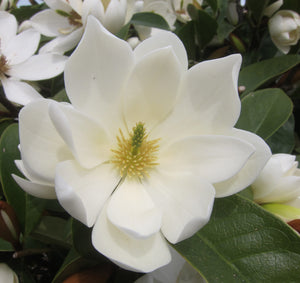 5-6ft Magnolia Fairy Cream ™ | 12L pot | by Frank P Matthews