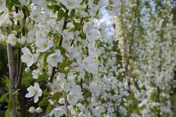 5-6ft Malus brevipes Wedding Bouquet | 12L pot | by Frank P Matthews