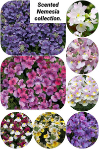 Nemesia Scented Collection