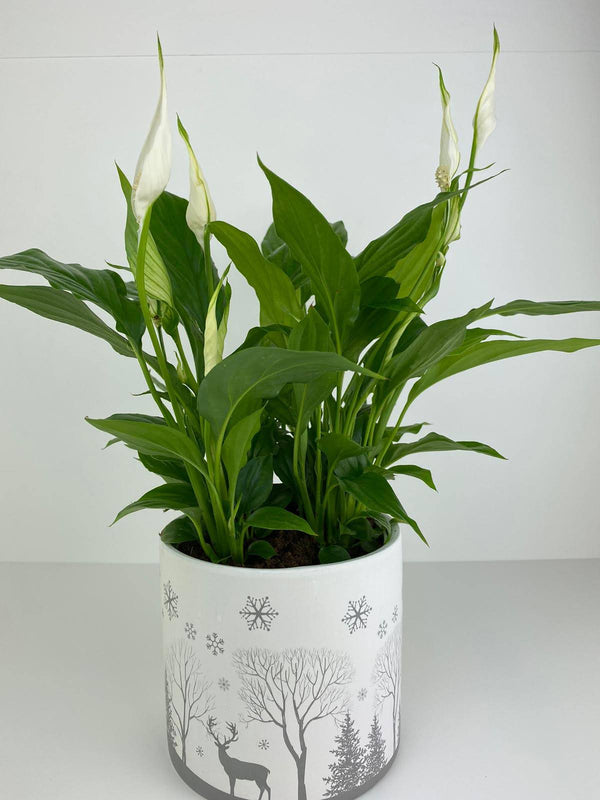 Spathiphyllum Peace Lily in Winter Woodland 12cm Pot Gift