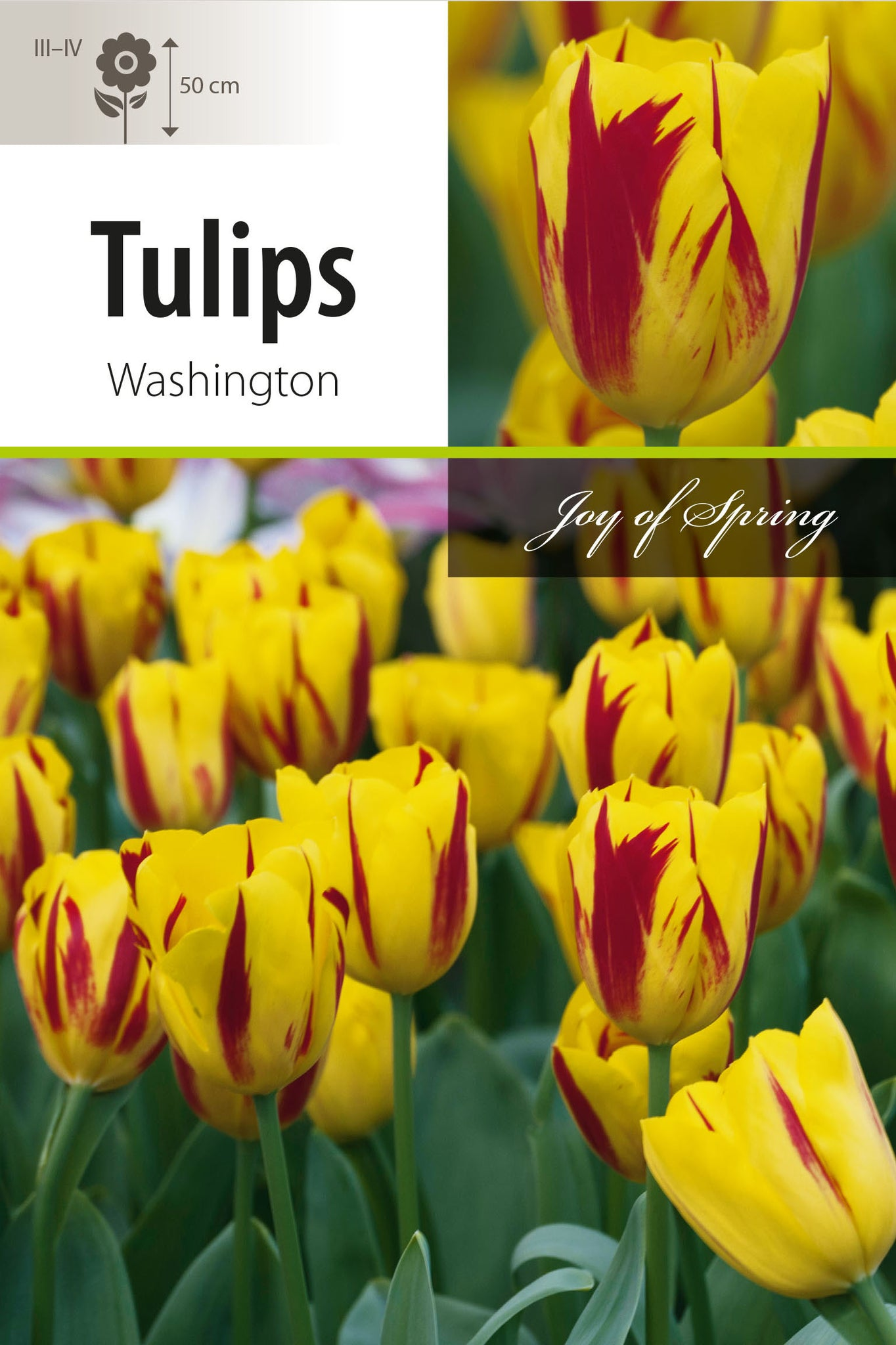 Tulip Washington Bulbs