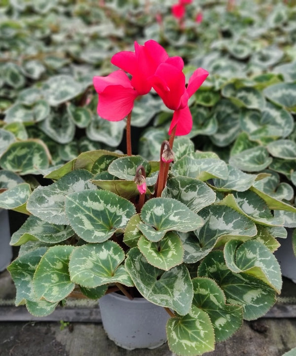 Cyclamen Red Large Flowered In 13cm Pot
