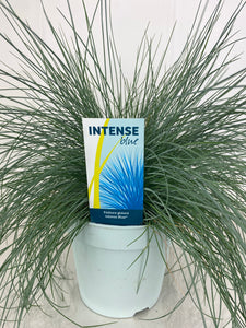 Festuca Intense Blue 2L Pot