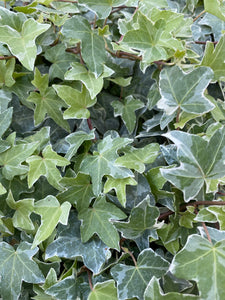 Ivy (Hedera) Trailing Silver 9cm Pot