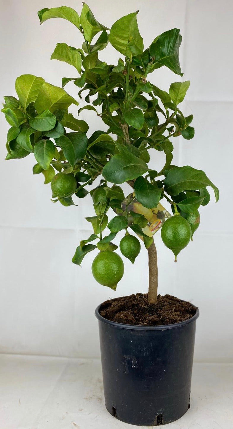 Citrus Lemon Tree 70cm Tall