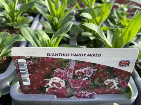 2 X Dianthus Hardy Mixed 6 pack (12 Plants)