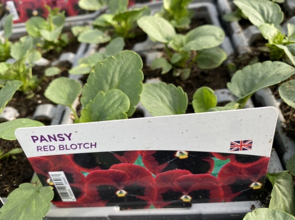 2 X Pansy Red Blotch 6 pack (12 Plants)
