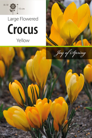 Crocus Yellow Large Flowered Bulbs