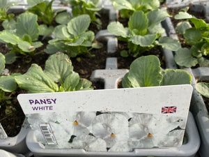 2 X Winter Pansy White 6 pack (12 Plants)