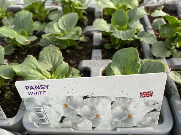 2 X Pansy White 6 pack (12 Plants)