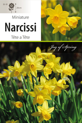 Narcissi Tete a Tete Bulbs