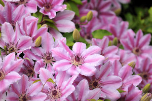 Clematis Nelly Moser 2L