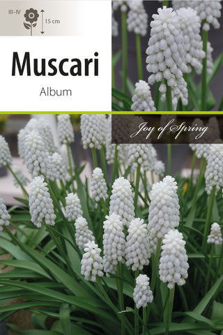 Muscari Album Bulbs