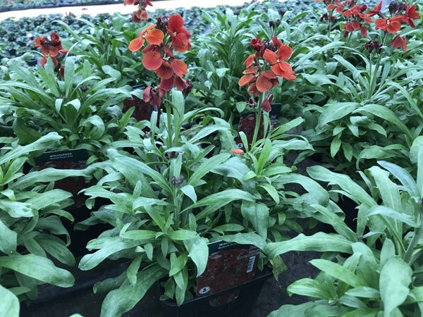 Wallflower Sugar Rush Red 2L Pot