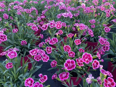 Dianthus Pink Kisses 12cm Pot