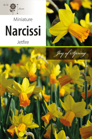 Narcissi Jetfire Bulbs