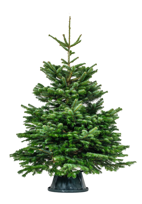 8-9ft Nordmann Fir Christmas Tree