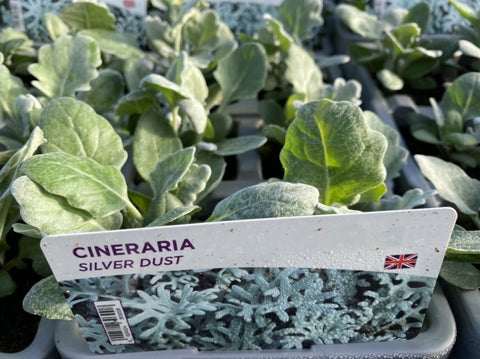 2 X Cineraria Silver Dust 6 Pack (12 Plants)