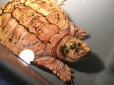 Albino Common Snapping Turtle Breeder Female SALE
