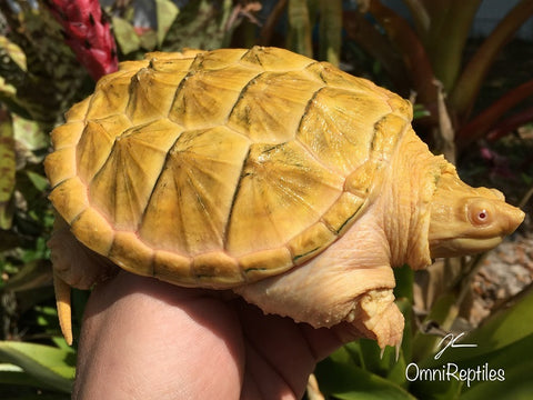 Albino Common Snapping Turtle 5 inch Female SALE
