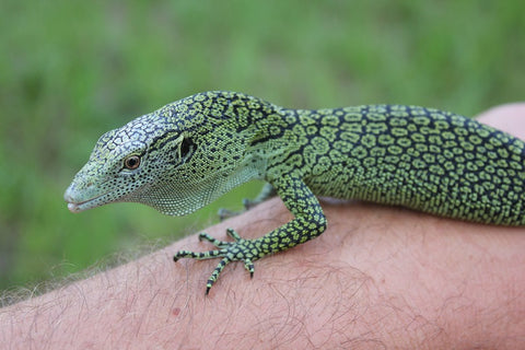 Biak Green Tree Monitor