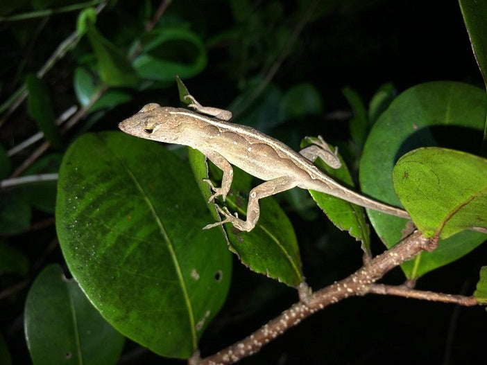 100 Lot Feeder Brown Anoles (LIVE)