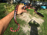 Eastern Mud Snake Sub Adult