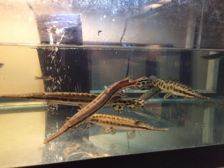 Florida Spotted Gar Fish