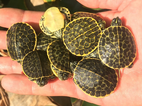 Florida Chicken Turtle Babies