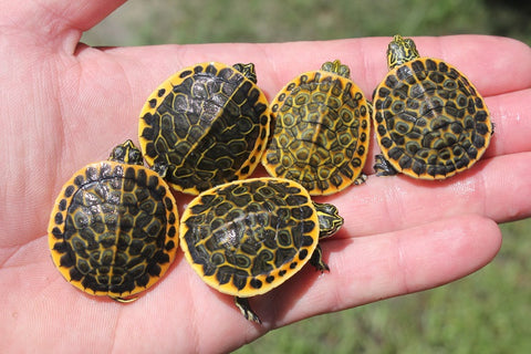 High Colored Florida Chicken Turtle Babies
