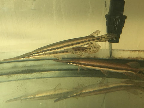 (4 pack) Florida Spotted Gar Fish 6 to 8 inches