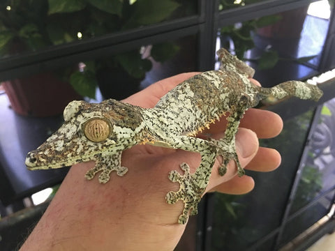 Giant Leaf Tail Gecko Pairs