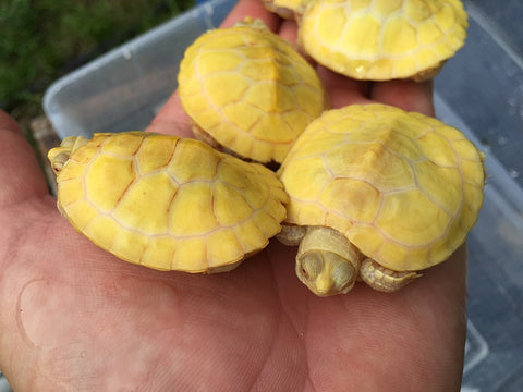 Albino Red Ear Slider (Imperfects)