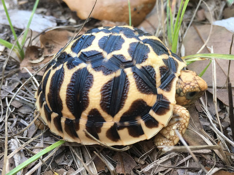 Indian Star Tortoise Baby