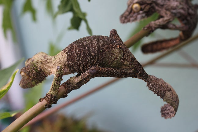 Mossy Leaf Tail Gecko Pair