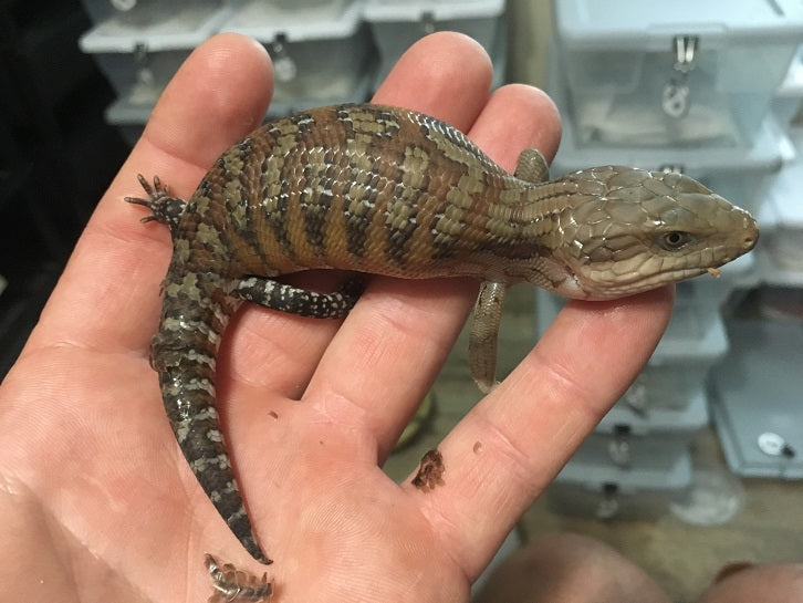 Classic Northern Blue Tongue Skink Babies