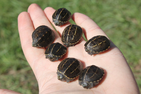 Three Stripe Mud Turtle Babies