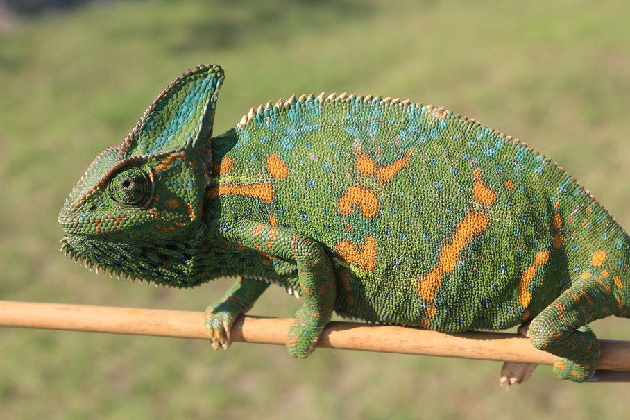 Veiled Chameleon Sub Adults