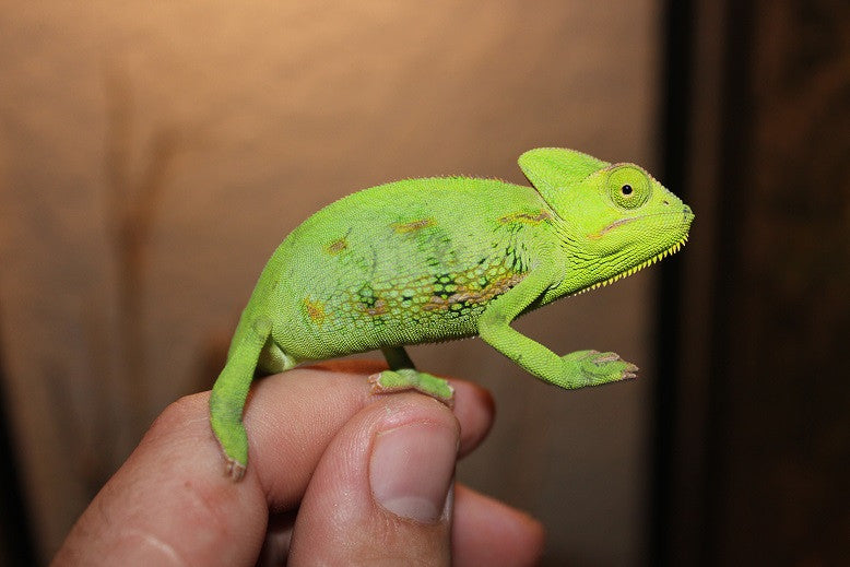 Veiled Chameleons Big Babies WHOLESALE 3 Packs