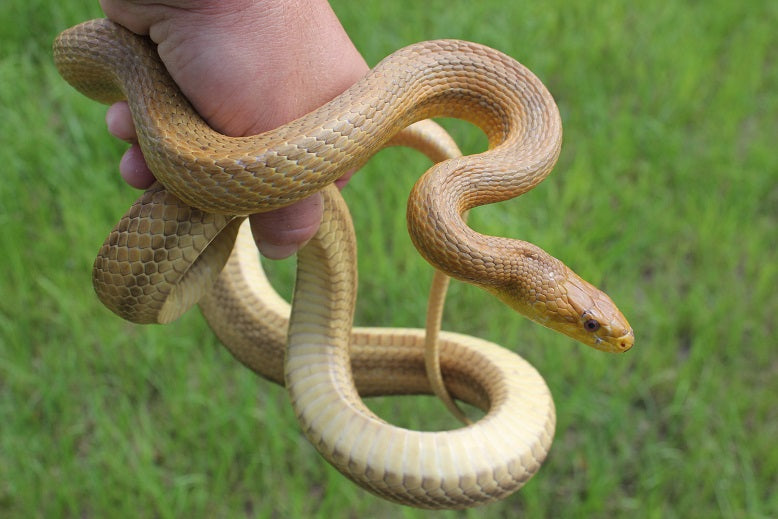 Yellow Rat Snake Adult Male