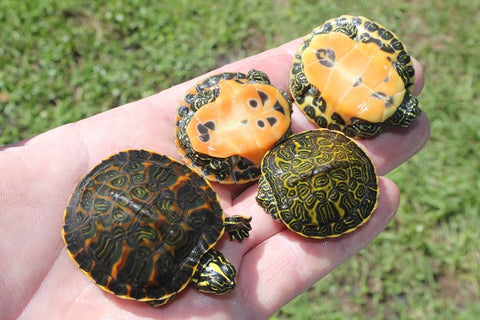 Florida Red Belly Turtle (Babies)